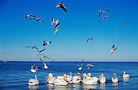 American White Pelican, Pelecanus erythrorhynchos, group fishing and Laughing Gulls, Rockport, Texas, USA
