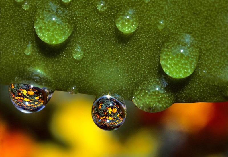 Marigolds reflected through water drops. Monroe, Oregon.