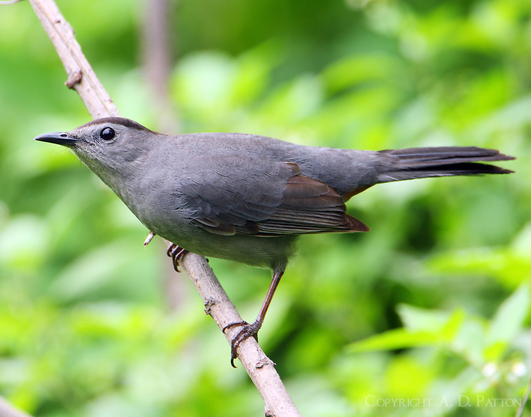 Gray catbird at Paradise Pond