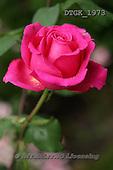 Gisela, FLOWERS, BLUMEN, FLORES, photos+++++,DTGK1973,#f#