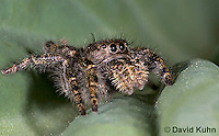 0116-1001  Bold Jumper, Phidippus audax  © David Kuhn/Dwight Kuhn Photography