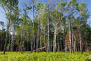 Quaking Aspen - (Populus tremuloides) - stand in Livermore, New Hampshire during the summer months.