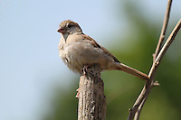 Beautiful house-sparrow sitting on tree stump or wooden log