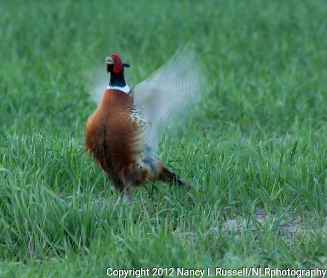 Ring-necked pheasant flapping his wings
