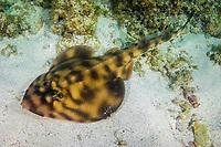 Banded guitarfish, Zapteryx exasperata, Sea of Cortez, Baja California, Mexico.