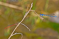 338290006 a wild male aztec dancer argia nahuana and a desert firetail telebasis salva perch on a twig  along empire creek las cienegas  natural conservation area pima county arizona united states..GPS: N 31.85278; W -110.67806