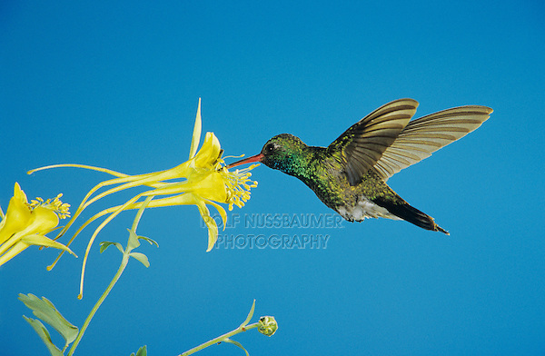 Broad-billed Hummingbird, Cynanthus latirostris,male feeding on Longspur Columbine(Aquilegia longissima), Madera Canyon, Arizona, USA, May 2005