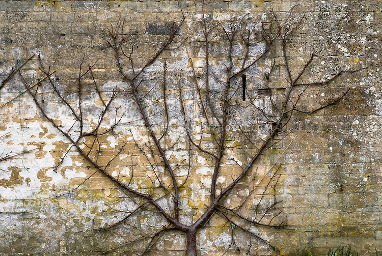 Prunus domestica (plum) 'Rivers Early Prolific' ('Early Rivers') trellised fruit against wall, in early spring before leafing out, showing branches trained and pruned flat