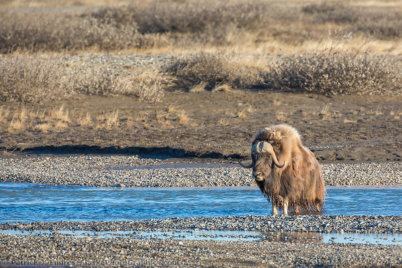 Muskox on the gravel bar of the Sag river in the Arctic North Slope, Alaska.