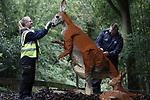 Foto: VidiPhoto<br /> <br /> ARNHEM – In Burgers' Zoo wordt vrijdag de laatste hand gelegd aan een enorm legospektakel met 40 levensechte dierfiguren van meer dan 1 miljoen legosteentjes. Vanaf zaterdag 5 tot en met 27 oktober zijn de figuren te zien in de Arnhemse dierentuin. Blikvanger is een olifant van 3,7 meter lang, 1,54 meter breed en 2,5 meter hoog. In totaal hebben alleen al aan de olifant zes bouwers 1600 uur gewerkt. Het gevaarte weegt 1210 kilo en telt 271.739 steentjes. De fotogenieke beelden zijn in een speciaal atelier in Engeland opgebouwd door zo'n 30 fanatieke fans. Het is voor het eerst dat de bijzondere dierfiguren buiten Engeland te zien zijn.