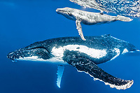 humpback whale, Megaptera novaeangliae, mother and calf, Vavau, Tonga, Pacific Ocean