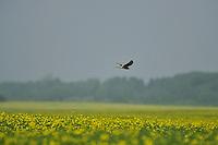 Montagu's Harrier (Circus pygargus), Latvia