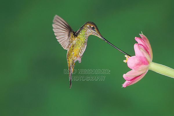Sword-billed Hummingbird (Ensifera ensifera), female feeding from passionflower (Passiflora mixta),Papallacta, Ecuador, Andes, South America