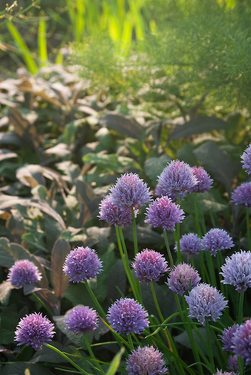 Flowering chives with purple sage and fennel, late May.