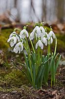 Schneeglöckchen, Schnee-Glöckchen, Galanthus nivalis, snowdrop, common snowdrop