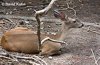 0528-1106  Central American White-tailed Deer, Belize, Female Deer, Odocoileus virginianus truei  © David Kuhn/Dwight Kuhn Photography