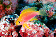 Hawaiian longfin anthias, female, .Pseudanthias hawaiiensis (endemic), .Kona, Big Island, Hawaii (Pacific).