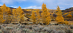 A stand of aspen trees at the peak of autumn in the rocky mountains of Gunnison County Colorado; USA