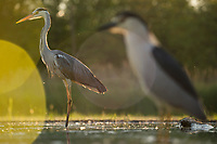 Grey heron and Black-capped Night heron, Ardea cinerea and Nycticorax nycticorax, feeding on cyprionid fish/carp species in fish farm pond, Pusztaszer protected landscape, Kiskunsagi, Hungary