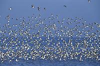 Mixed wader flock mainly Knot - Calidris canutus - Snettisham, Norfolk