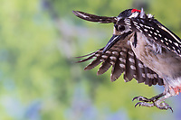 Buntspecht, Männchen, Flug, Flugbild, fliegend, Bunt-Specht, Specht, Spechte, Dendrocopos major, Picoides major, Great spotted woodpecker, male, flight, flying, Pic épeiche