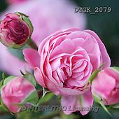 Gisela, FLOWERS, BLUMEN, FLORES, photos+++++,DTGK2079,#f#