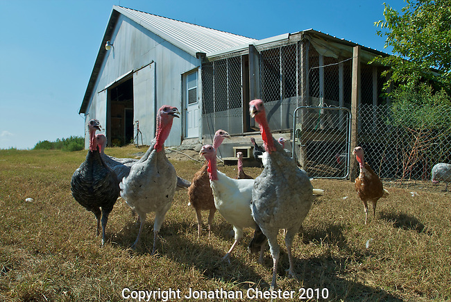 Heartland,Good Shepherd, Heritage Turkeys and Chickens
