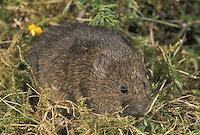 Orkney Vole Microtus arvalis orcadnesis Length 12-17cm Confined to Orkney. Introduced, but has been present on those islands for at least 5,000 years and lives on moors and coastal cliffs. Also occurs on mainland Europe where it is known as Common Vole. Although absent from, and not native to, most of Britain, it occurs as an ancient introduction to two far-flung island chains; here it has evolved into distinct subspecies.