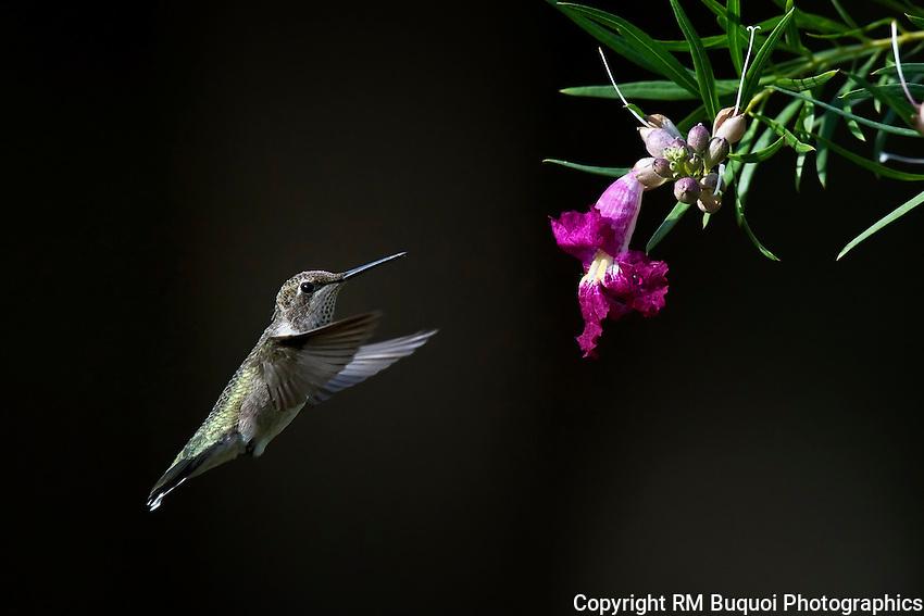 Female Black-chinned Hummingbird and Desert Willow Flower