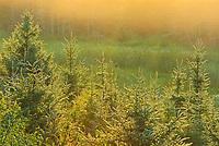 Trees in morning fog<br />Kenora<br />Ontario<br />Canada