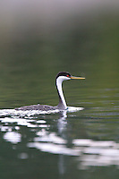The Western Grebe, (Aechmophorus occidentalis), is a species in the grebe family of water birds. It has a spectacular courtship display; two birds will rear up and patter across the water's surface.