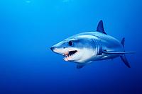Mako Shark, Isurus oxyrinchus, La Jolla, California, East Pacific Ocean