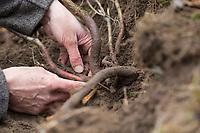 Wurzelernte, Wurzeln von Schlehe werdenn ausgegraben, Ernte von Schlehenwurzeln, Rinde von Schlehenwurzeln, Schlehenwurzel, Schlehenwurzel-Ernte, Schlehenwurzelernte, Schlehen-Wurzeln, Schlehen-Wurzel, Wurzeln, Wurzel, Rinde und Wurzeln von Schlehe, Wurzelrinde, Wurzel-Rinde, Gewöhnliche Schlehe, Schwarzdorn, Prunus spinosa, Blackthorn, Sloe, root, roots, Epine noire, Prunellier