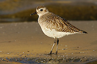 Adult non-breeding<br /> San Diego Co., CA<br /> January 2006 Grey Plover - Pluvialis squatarola - Adult moulting into full Summer Plumage. L 28cm. Plump-bodied coastal wader. Best known in winter plumage but breeding plumage sometimes seen in newly-arrived, or shortly-to-depart, migrants. In flight, note black &lsquo;armpits&rsquo; on otherwise white underwings. Typically solitary. Sexes are similar. Adult in winter looks overall grey but upperparts are spangled with black and white and underparts are whitish. Legs and bill are dark. In summer plumage, has striking black underparts (sometimes rather mottled in females) separated from spangled grey upperparts by broad white band. Juvenile resembles winter adult but has buff wash to plumage. Voice Utters diagnostic, trisyllabic pee-oo-ee call, like a human wolf-whistle. Status Nests in high Arctic; coastal, non-breeding visitor to Britain and Ireland