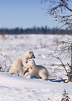 While mom is resting, young polar bear cubs engage in some play fighting.