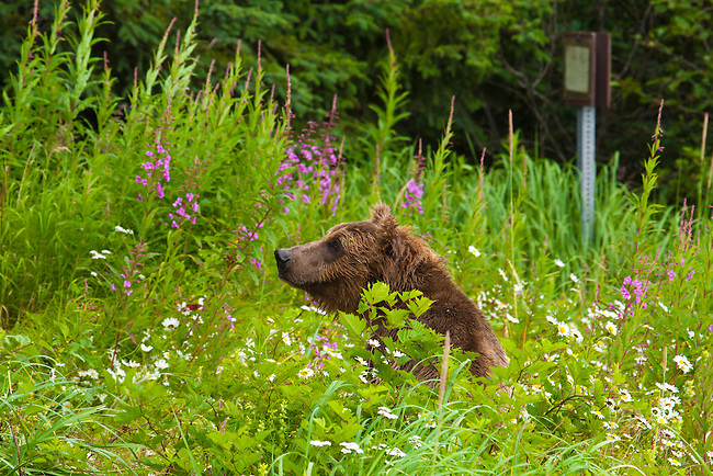 A brown bear sits in a patch of flowers in Lake Clark National Park in Alaska.  Photo by Gus Curtis.