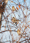 Common Redpolls (Carduelis flammea), male and three females feeding on birch catkins in winter, New York, USA