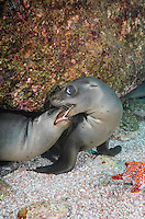 QT0491-D. California Sea Lions (Zalophus californianus) playing with each other. Baja, Mexico, Sea of Cortez, Pacific Ocean.<br /> Photo Copyright &copy; Brandon Cole. All rights reserved worldwide.  www.brandoncole.com