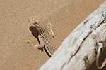 Colorado Desert fringe-toed lizard, Uma notata.  Algodones dunes, Imperial County, California