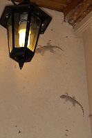 Mauergecko, wird nachts von Lampe, Laterne, Beleuchtung, Licht angezogen, Mauer-Gecko, Gecko, Hausgecko, Tarentola mauritanica, Moorish Wall Gecko, Salamanquesa, Crocodile gecko, European common gecko, Maurita naca gecko