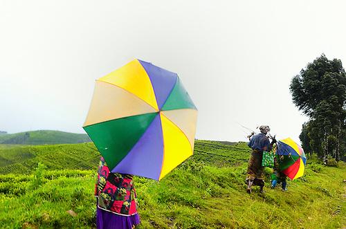 Tea plantations carpet the mountains in northwest Rwanda.