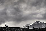 USA, Alaska, Girdwood, carabou grazing on a hill inside the Alaska Wildlife Conservation Center, (B&W)