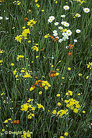 MD07-011c  Meadow - hawkweed - Hieracium spp -  AND daisies