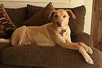 WATERBURY, CT-26 December 2013-122613LW02 - 6-year-old yellow Labrador / Greyhound mix Max relaxes in his Waterbury home. Max went missing for two weeks in August after he was hit by a car, but was reunited with his family. <br />