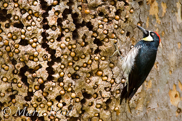 Acorn Woodpecker (Melanerpes formicivorus), male at granary tree showing many acorns stored for winter survival, Orange County, California, USA
