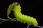 Luna or Moon Moth, Caterpillar, Actias luna, larvae, feeding on birch leaves, bright green.USA....