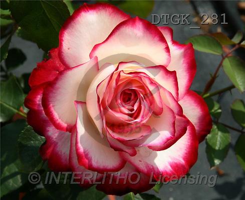 Gisela, FLOWERS, photos(DTGK281,#F#) Blumen, flores, retrato