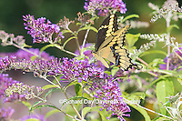 03017-01102 Giant Swallowtail butterfly (Papilio cresphontes) on Butterfly Bush (Buddlei davidii),  Marion Co., IL