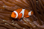 False Clownfish (Amphiprion ocellaris) inside a sea anemone in Komodo National Park, Indonesia.