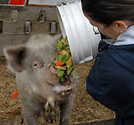 """HOLTSVILLE,NY- THURSDAY, DECEMBER 20, 2007: """"Miss Piggy"""" a former pet that grew too big for the family that owned her, is fed by Kelly Burke at the Harold H. Malkmes Ecology and Wildlife Center at Holtsville Park in Holtsville. Newsday / Jim Peppler"""